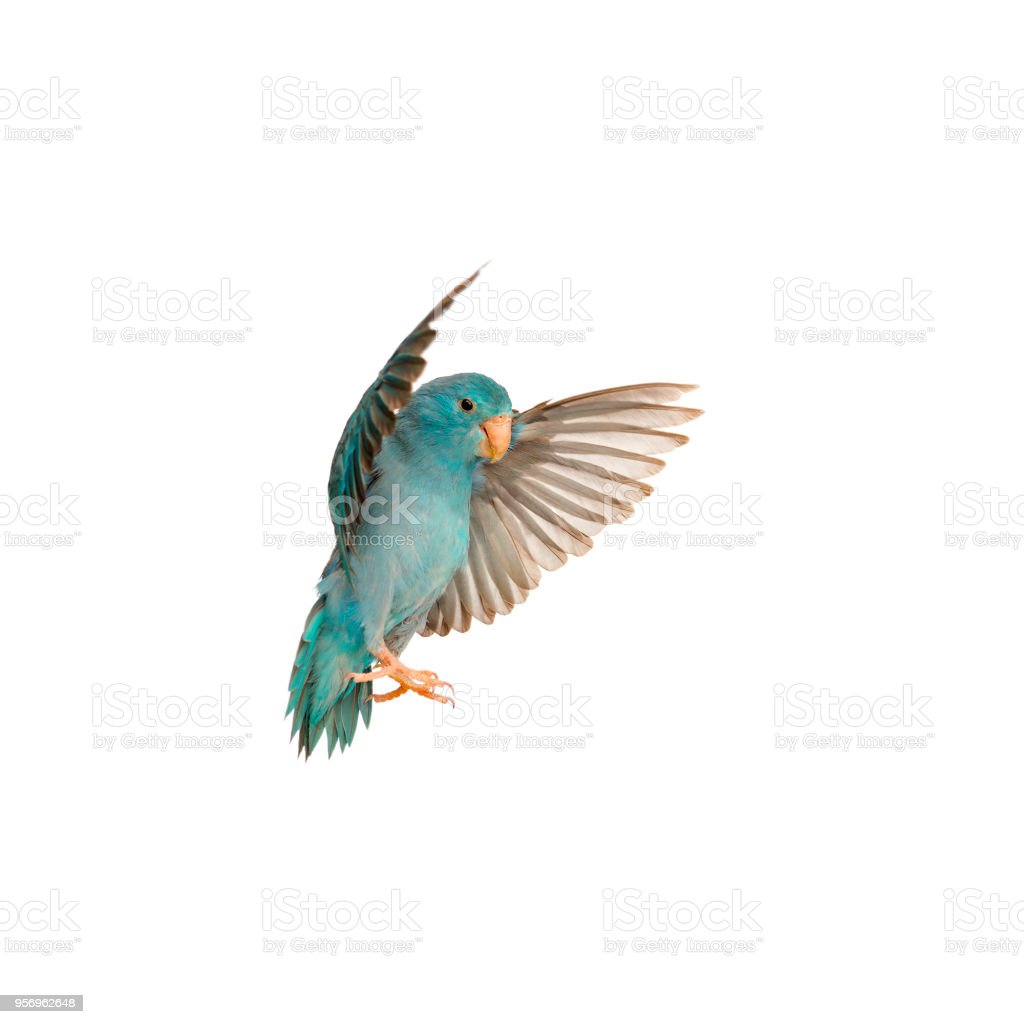 Pacific Parrotlet, Forpus coelestis, flying against white background stock photo