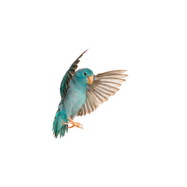pacific parrotlet, forpus coelestis, volando contra fondo blanco - pájaro fotografías e imágenes de stock
