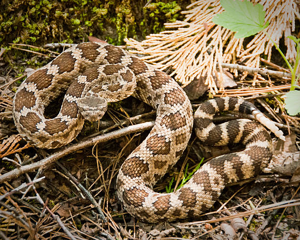 Pacific Rattlesnake in Strike Posture, Kings Canyon National Park, California stock photo