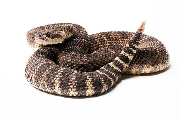 Pacific Rattlesnake stock photo