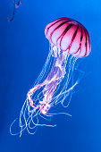 Pacific sea nettle Chrysaora melanaster jellyfish. Vibrant Pink against a deep blue background