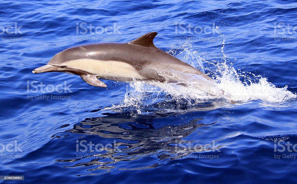 Pacific Short Beaked Common Dolphin stock photo
