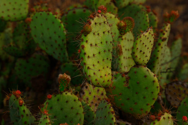 Pacific Southwest desert and Prickley pear catcus – zdjęcie