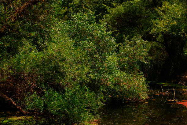Pacific Southwest forest and Arroyo willow trees – zdjęcie