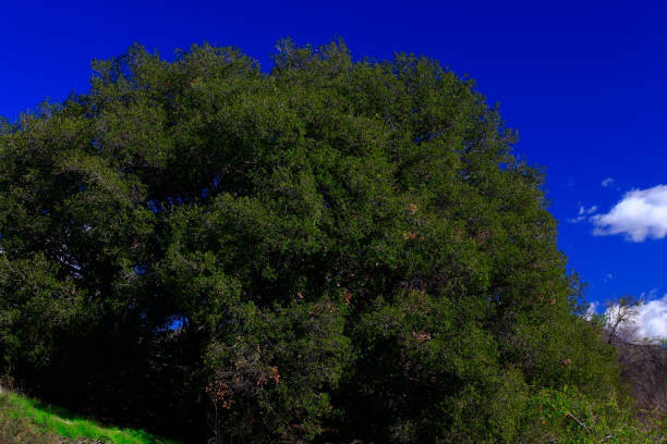 Pacific Southwest forest and Interior live oak trees – zdjęcie