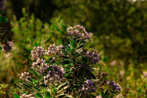Pacific Southwest forest and Yerba santa shrubs – zdjęcie