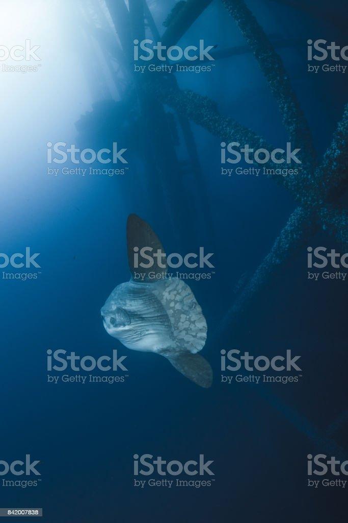 Pacific Sunfish stock photo