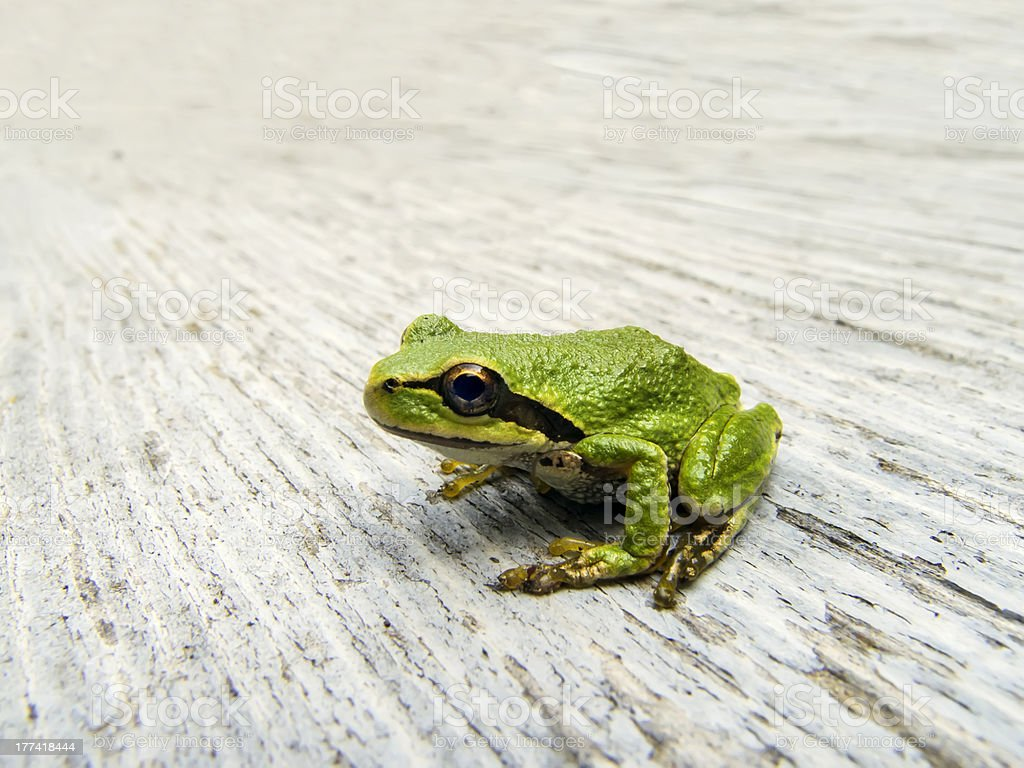 Pacific Tree Frog stock photo