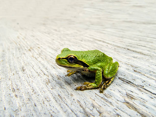 pacific tree frog - naturediver stock pictures, royalty-free photos & images