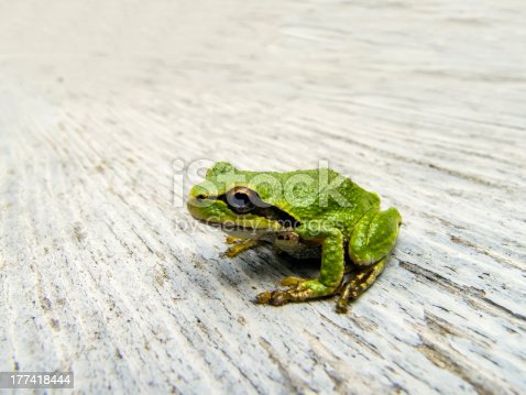 Pacific Tree Frog Stock Photo & More Pictures of Amphibian