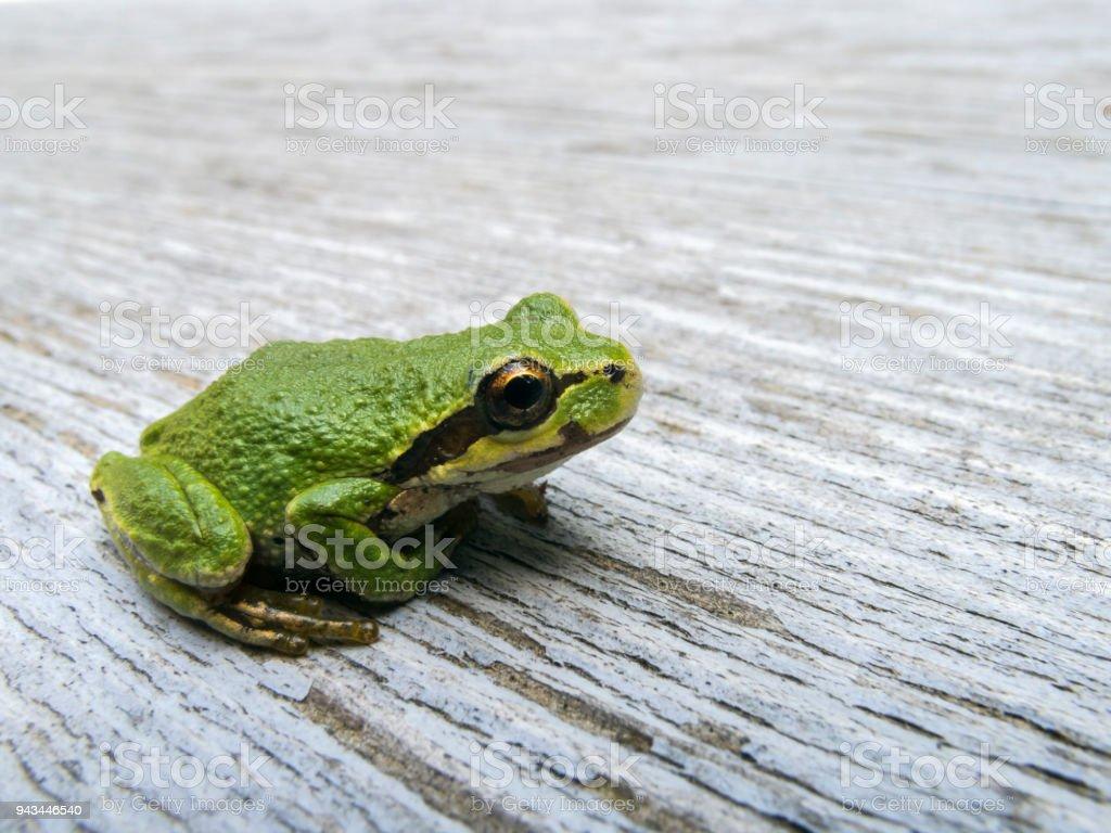 Pacific tree frog (Pseudacris regilla) royalty-free stock photo