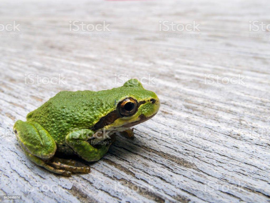 Pacific tree frog (Pseudacris regilla) stock photo
