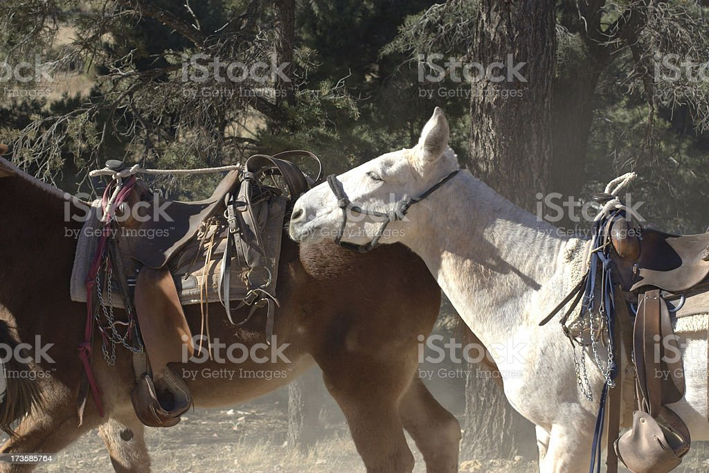 Pack Animals royalty-free stock photo