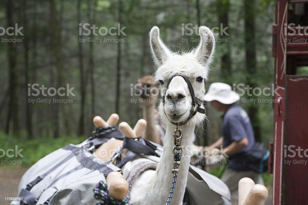 Paquete de Llamas - foto de stock
