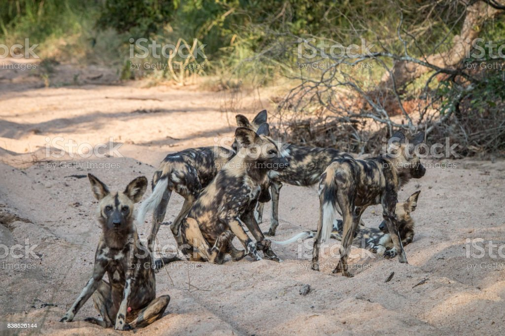 A pack of African wild dog playing. stock photo