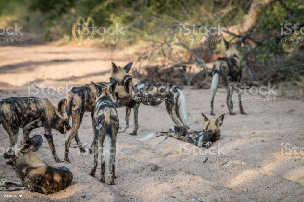 A pack of African wild dog walking. stock photo