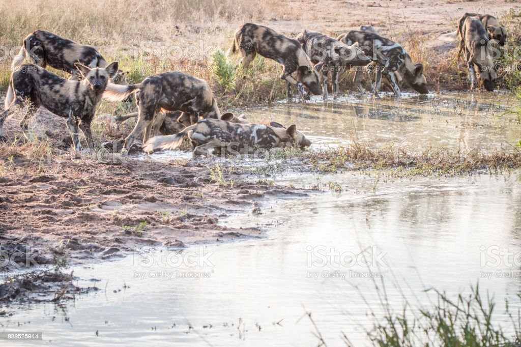 A pack of African wild dogs drinking. stock photo