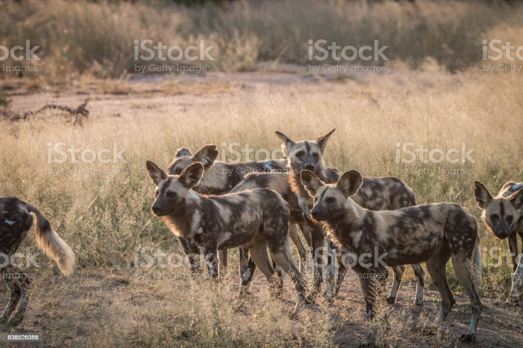 A pack of African wild dogs in the grass. stock photo