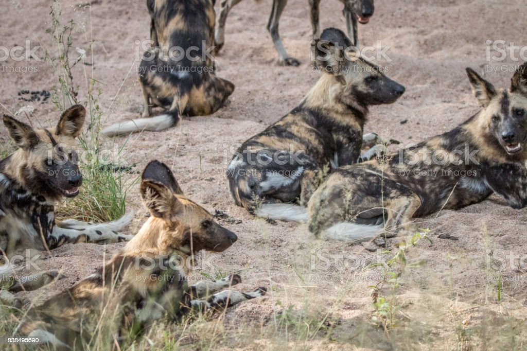 A pack of African wild dogs laying in the sand. stock photo