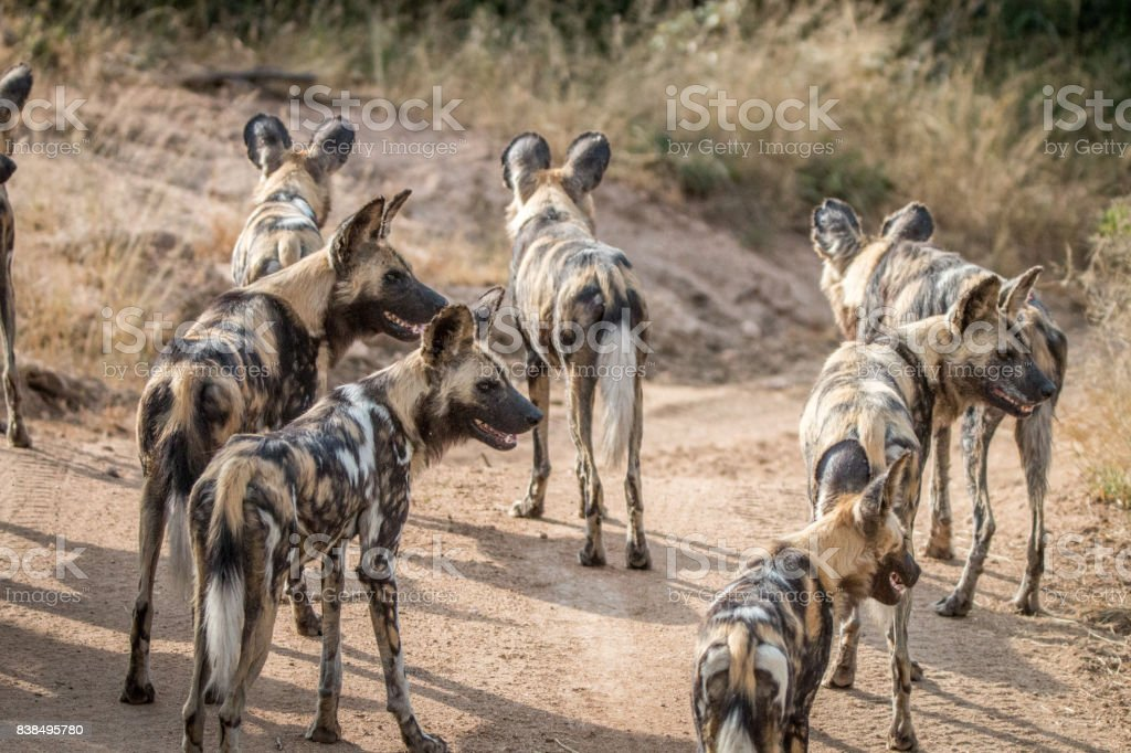 A pack of African wild dogs looking around. stock photo