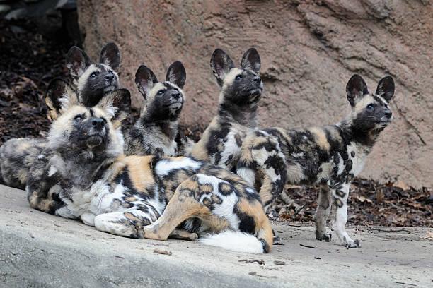 Pack of african wild dogs picture id148951651?b=1&k=6&m=148951651&s=612x612&w=0&h=qsjyxwxdg4dfjs7eze emuv5kbkn wl1fngats6ljhg=