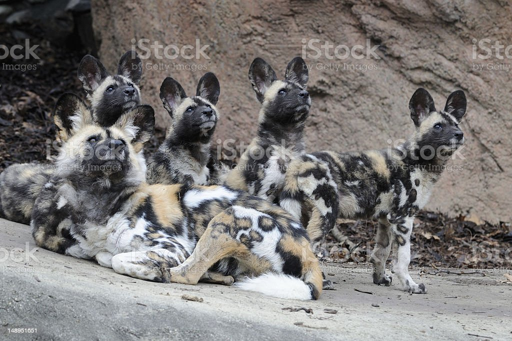 Pack of African wild dogs stock photo