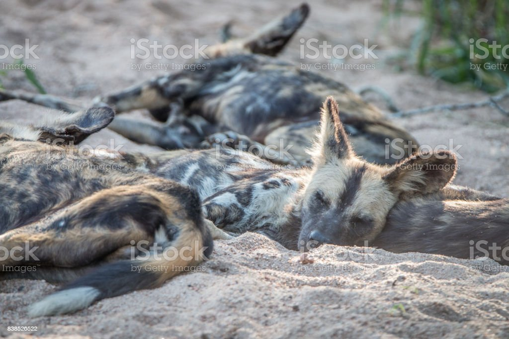 A pack of African wild dogs resting. stock photo