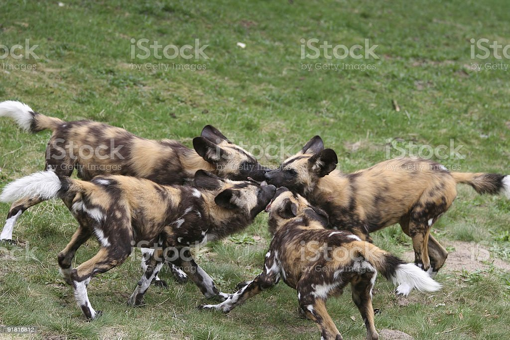 pack of african wilddog pups stock photo
