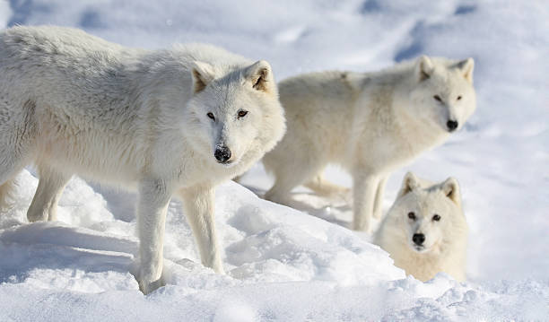 pack of arctic wolve stock photo