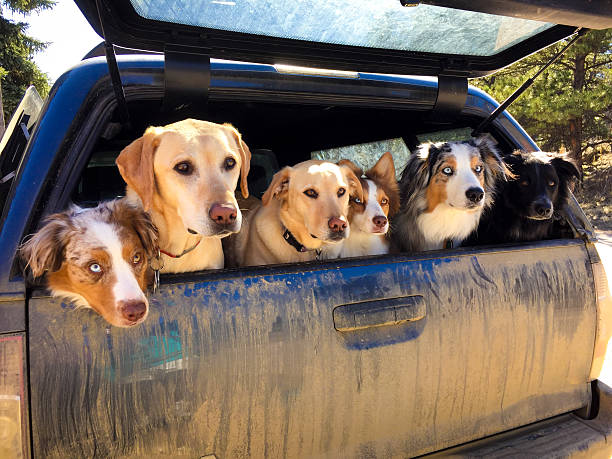 [Image: pack-of-dogs-in-truck-in-colorado-pictur...7PtpMV_iI=]