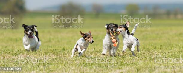Pack of dogs is racing and playing 4 jack russell tricolor pedigree picture id1041082354?b=1&k=6&m=1041082354&s=612x612&h=ofkewqu7lmww710vcfnnccenbt hqfxlyjwjvuhgkkk=