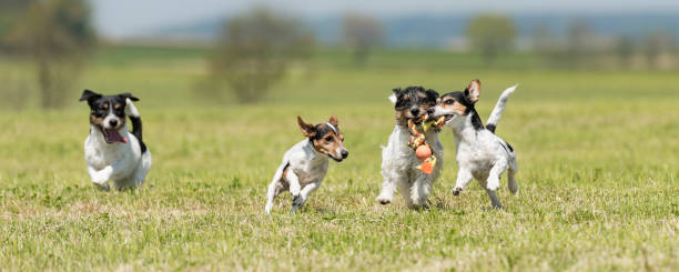 Pack of dogs is racing and playing 4 jack russell tricolor pedigree picture id1041082354?b=1&k=6&m=1041082354&s=612x612&w=0&h=g21a8dm2k7u6y2z jja93se1nqpo7vnj glgrug29sa=