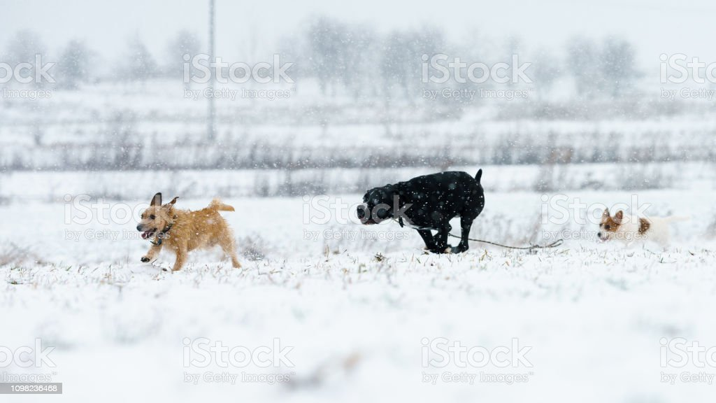 A pack of dogs jack russell terrier is chasing on a winter meadow....