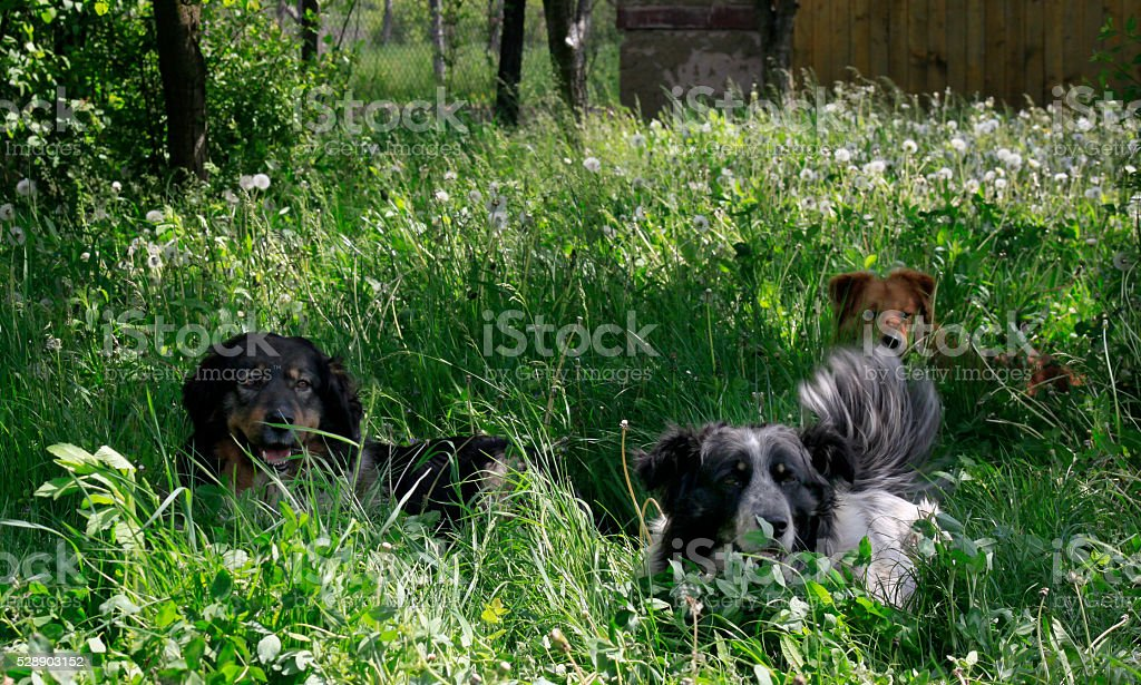 Pack of dogs stock photo