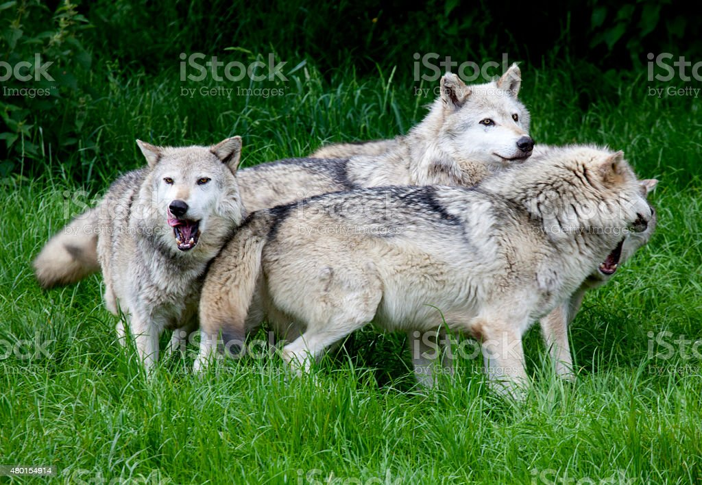 Pack of European Grey Wolves stock photo