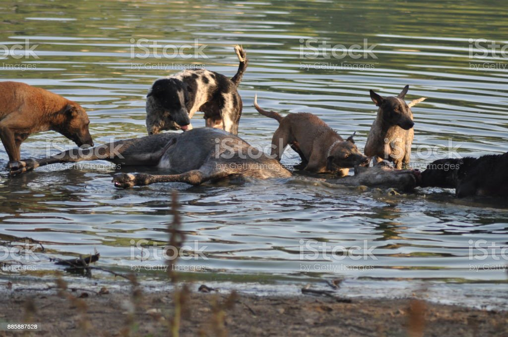 A pack of feral dogs hunting down a male Blue-bull in Gujarat, India stock photo