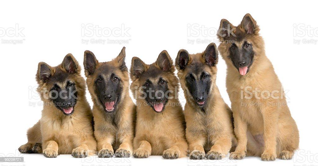 Pack of five Belgian Tervuren puppies stock photo