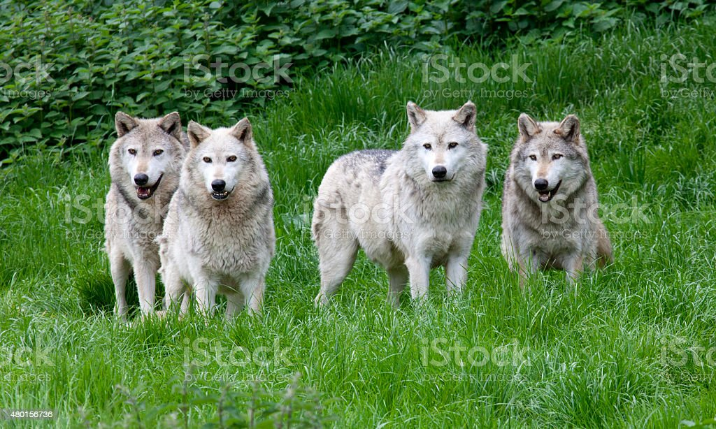 Pack of four European Grey Wolves stock photo