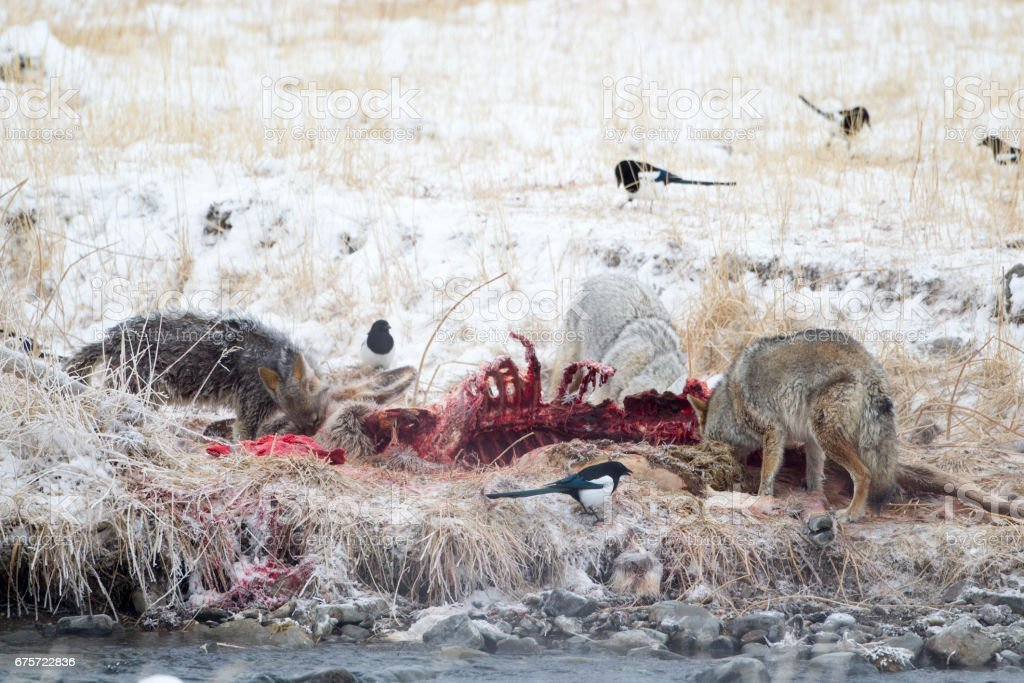 Pack of Grey Wolves Eating Surrounded By Magpies stock photo