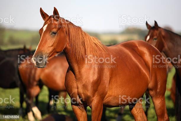Pack of horses picture id145245304?b=1&k=6&m=145245304&s=612x612&h=kuqev2v7ky6aaij06x9 a7o3cq57q9nzwbu xujdwgi=