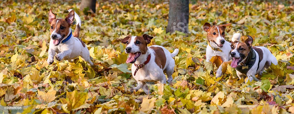 Pack of Jack Russell Terriers running at fall (autumn) park stock photo