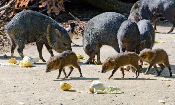 pack of peccaries - javelina stock pictures, royalty-free photos & images