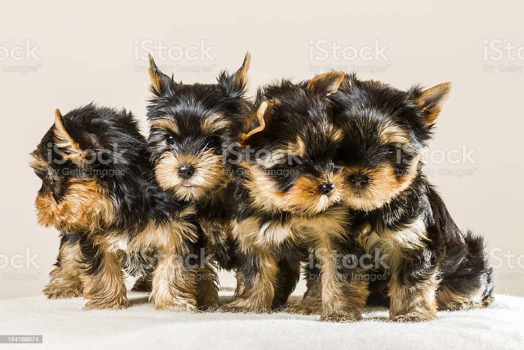 Pack of puppies Yorkshire isolated on white stock photo