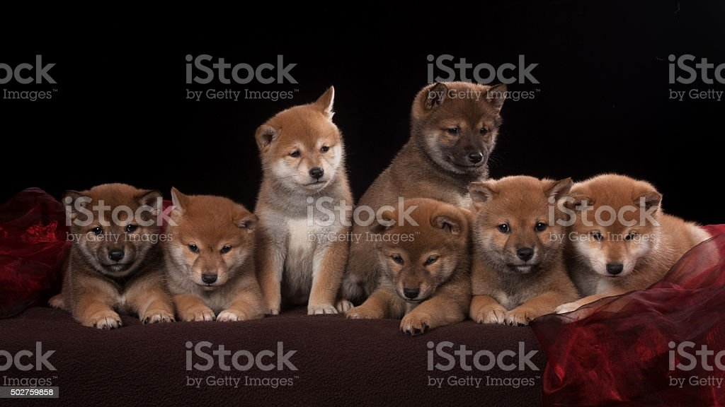 Pack Of Seven Shiba Inu Puppies And Looking In Camera Stock