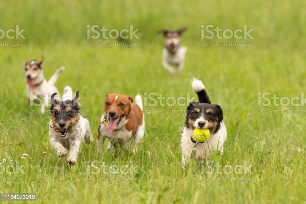 Pack of small jack russell terrier are running and playing together picture id1134073019?b=1&k=6&m=1134073019&s=612x612&h=lwtg5doxqc3gpk6ga ejnnhmrofb8p1zwna3spj0u3y=