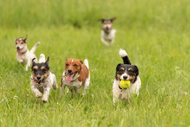 Ein Päckchen des kleinen Jack Russell Terrier laufen und spielen zusammen auf der Wiese mit einem Ball – Foto