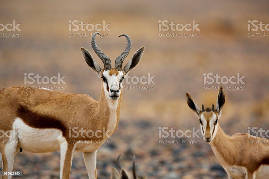 Pack of Springboks in the Desert | Namibia - foto de stock