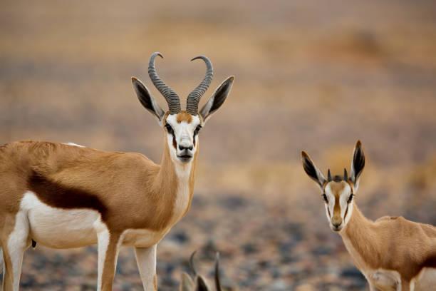 pack of springboks in the desert | namibia - safari tiere stock-fotos und bilder