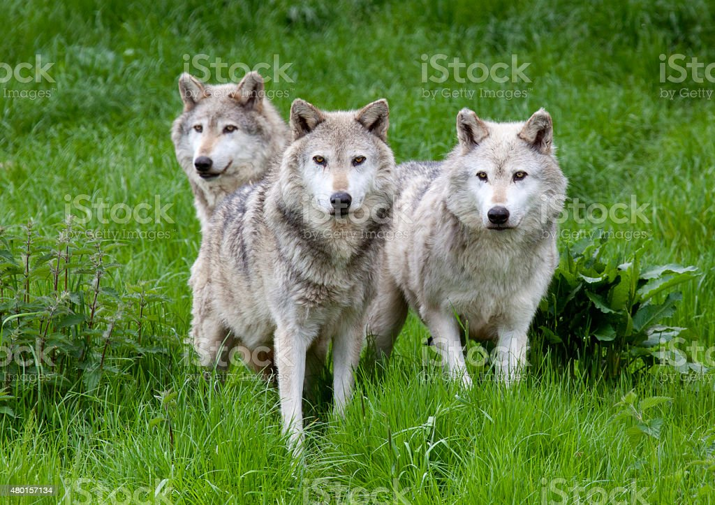 Pack of three European Grey Wolves stock photo