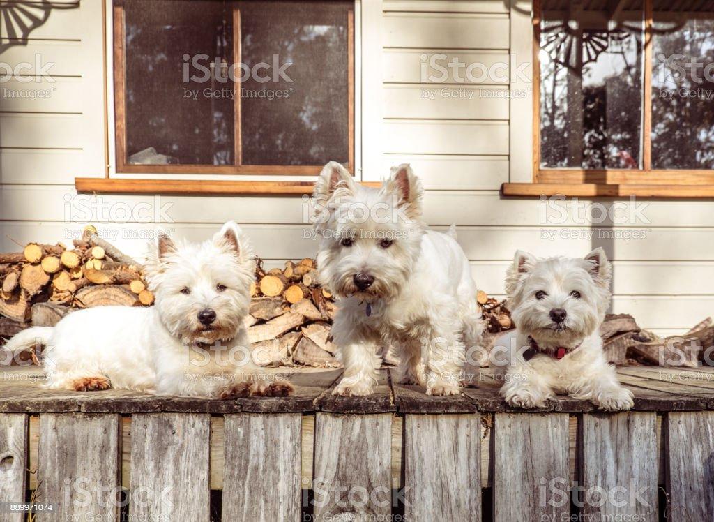 Pack De Trois Chiens De Westie West Highland White Terrier Sur Le ...